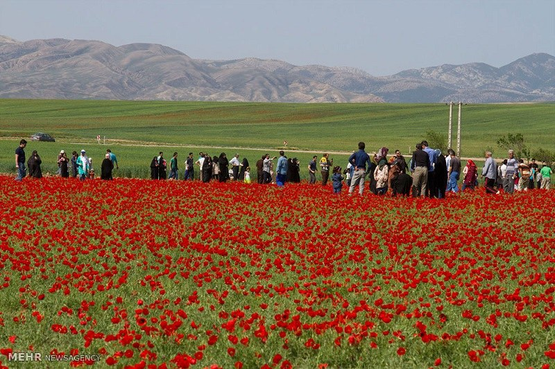 Shahrood Natural Attractions: Poppy Plains of Kalpoosh