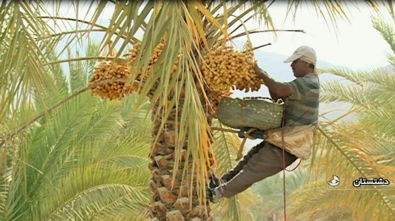 Bushehr Natural Attractions: Palm Groves