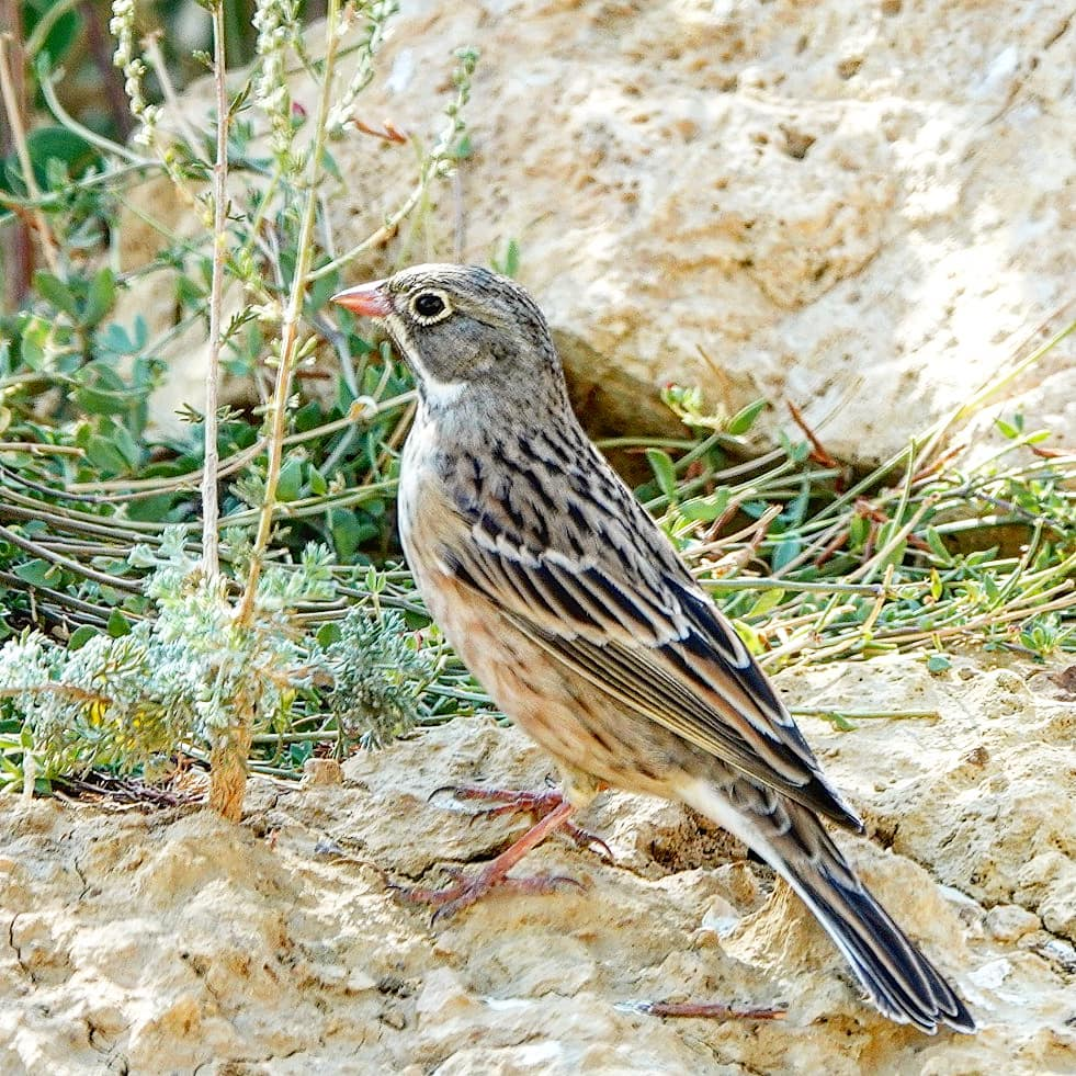 Semnan Natural Attractions: Ortolan Bunting in Parvar