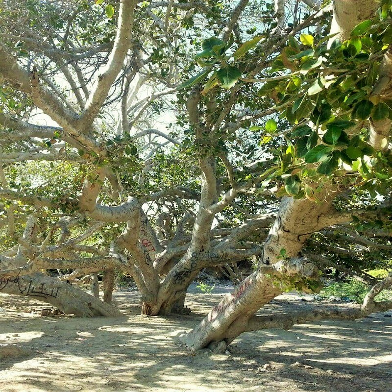 Chabahar Natural Attractions: Sacred Fig Tree