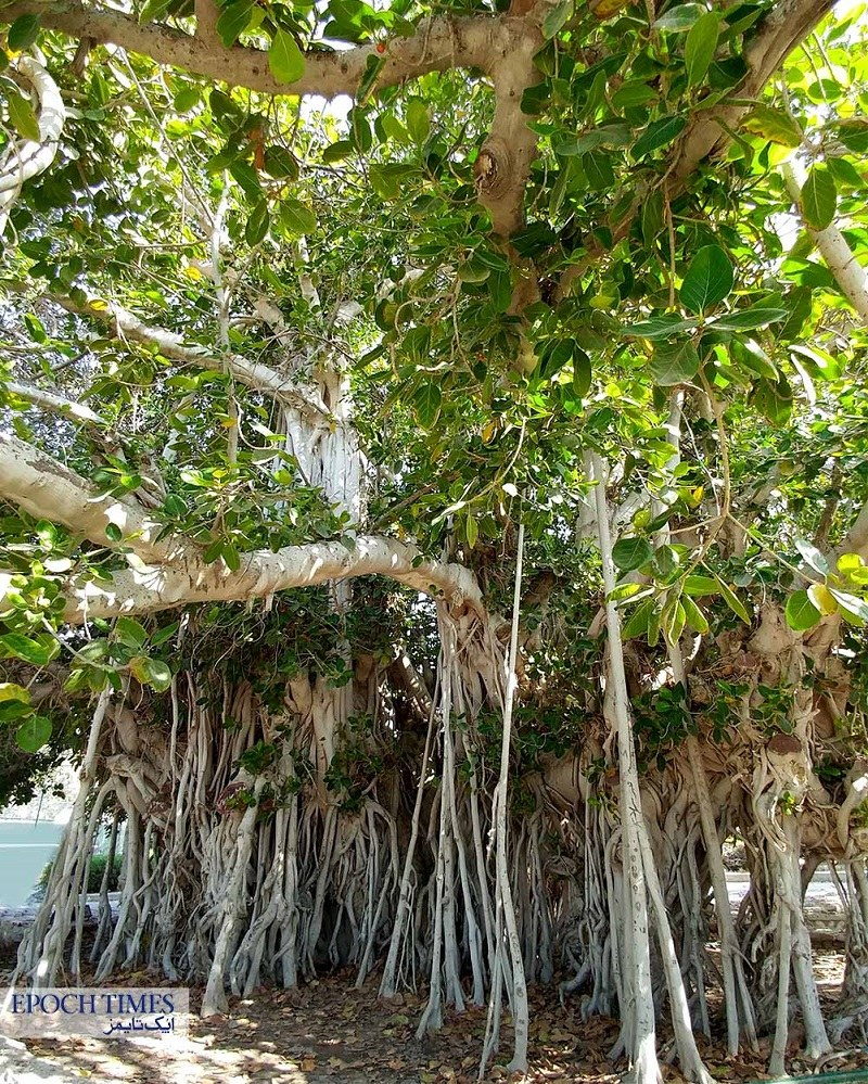 Kish natural attractions: sacred fig tree