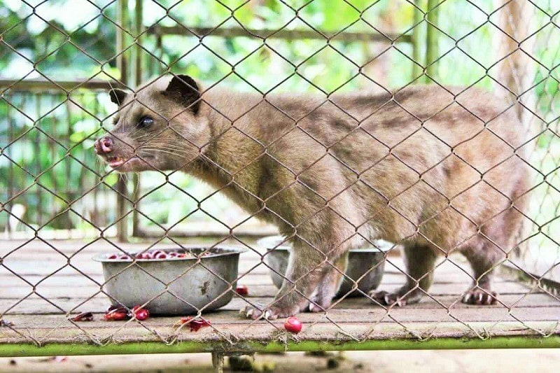 Civet Coffee Farms Inflict Cruelty to Animals