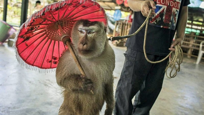 Dancing Monkeys is a Type of Animal Harassment