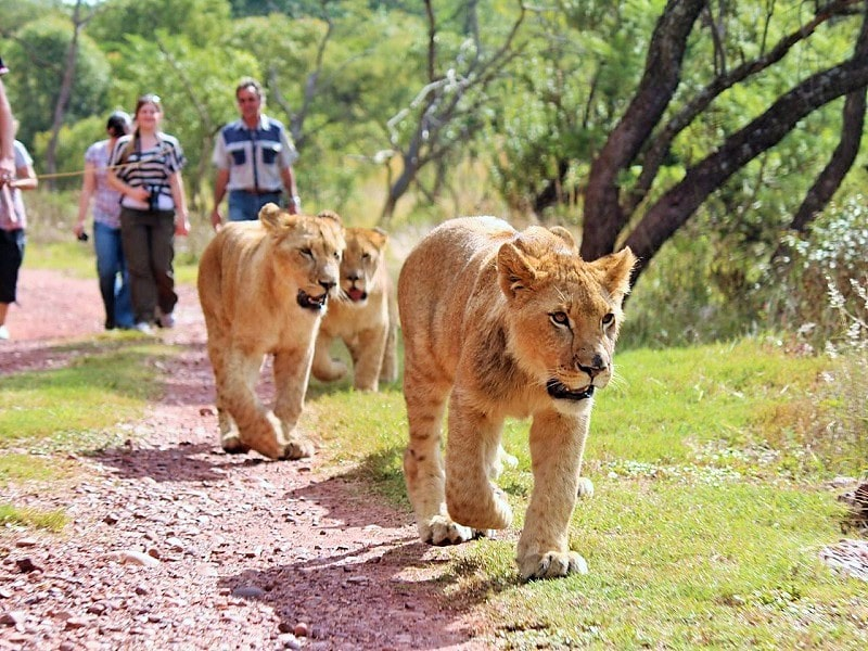 Walking with Lions, Animal Abuse