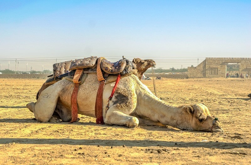 10 Types of Animal Abuse, Taming Camels